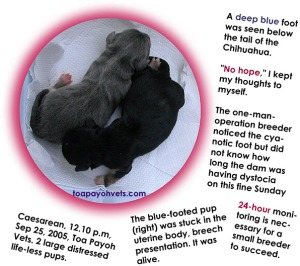 A blue foot seen. Professional breeder rushed for Caesarean. Puppy OK.  Toa Payoh Vets