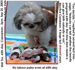 65 days. No labour pains. Shih Tzu's first pregnancy. Thin walls of uterine body. Caesarean. 4 vigorous pups. Toa Payoh Vets.