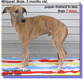 Whippet paper-trained in less than 7 days. How the owner did it?