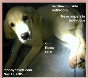 Pinkish, itchy elbows and paws - Leashed to bathroom Golden Retriever. Toa Payoh Vets