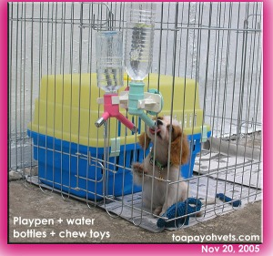 Water bottles for toilet-training of a Cavalier King Charles Spaniel Puppy. Toa Payoh Vets