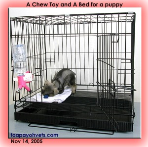 A puppy is chewing the chew toy. Teething means itchy gums. Toa Payoh Vets