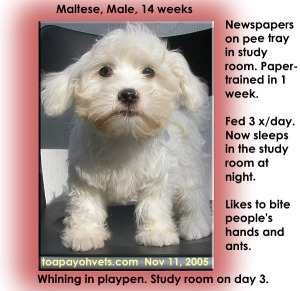 Maltese paper-trained in study room in 1 week using pee tray. Toa Payoh Vets