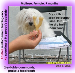 Maltese. Housebreaking aid & her urine on DRY bathroom floor. Toa Payoh Vets