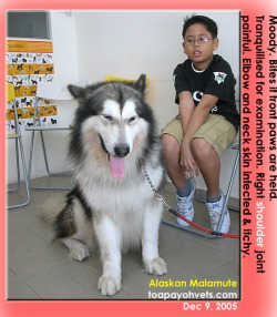 The gentle Alaskan Malamute needed to be tranquilised to diagnose right shoulder pain. Toa Payoh Vets