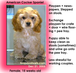 For busy working couples, a crate + wire flooring is better than a playpen. Toa Payoh Vets. American Cocker Spaniel.