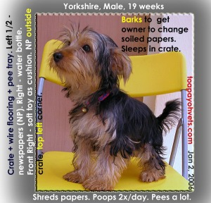 Yorkshire Terrier. Barks to tell owner to change soiled newspapers. Shreds papers. Chew wire crate. Toa Payoh Vets