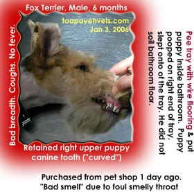 Bad smelling bacteria inside throat. Fox Terrier Puppy just purchased. Coughed. Toa Payoh Vets