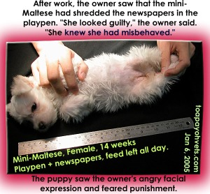 The mini-Maltese does not remember shredding papers. She was frightened of being punished by the owner. Toa Payoh Vets