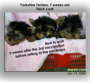 Thick-coated Yorkshire Terriers rarely available in Singapore. S$2,500 for male puppy.