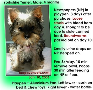 Yorkshire Terrier. 4 months. 2 roundworms passed out 10 days after purchase. Toa Payoh Vets.