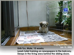 Leash toilet training of a Shih Tzu in a Singapore balcony apartment. Toa Payoh Vets