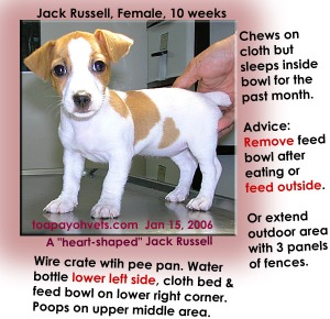 """The feed bowl is the bed for this """"heart-shaped"""" Jack Russell in a wire crate with pee pan. Toa Payoh Vets"""