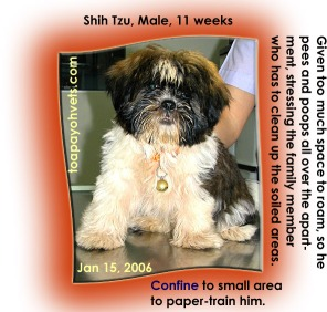 Male Shih Tzu puppy not restricted to a small area, hard to paper-train him. Toa Payoh Vets