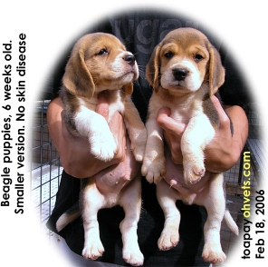 Smaller version of champion-line Beagles  - excellent skin condition. Toa Payoh Vets.