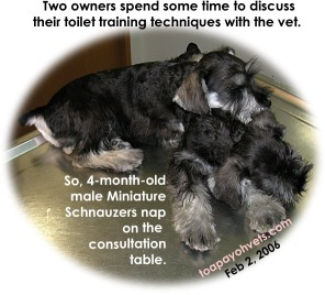 Bathroom - toilet-training 2 male Miniature Schnauzers. Toa Payoh Vets