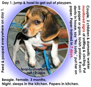 Hawk-like watch for signs and praises. Beagle Paper-trained in 7 days. Toa Payoh Vets.