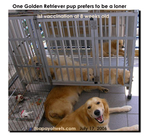 Healthy Golden Retriever pups after first vaccination. A loner pup wants peace and quiet. Toa Payoh Vets