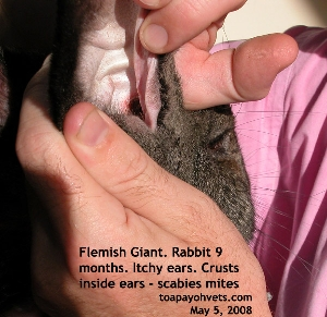 Flemish Giant Rabbit. Crusts only inside ears & nose. Scabies mites seen. Toa Payoh Vets.