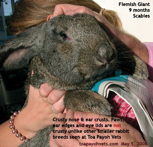 Flemish Giant rabbit, Singapore. Crusty nose has scabies mites living in. Toa Payoh Vets