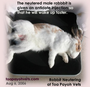 Rabbit has been neutered and given an antidote injection to wake up faster. Toa Payoh Vets