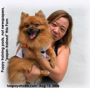 "Pom disliked newspapers but was successfully ""diaper"" trained. Toa Payoh Vets"