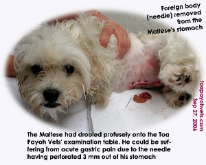 Maltese with needle removed from his perforated stomach. Toa Payoh Vets