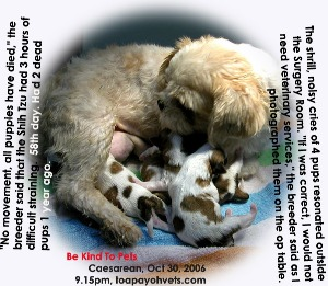Noisiest, shrill cries of 4 vigorous Shih Tzu pups, 58th day. Caesarean. Toa Payoh Vets