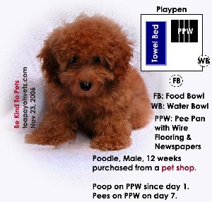 Pet shop crate has wired flooring. Poodle poos on wire flooring pee pan. Toa Payoh Vets