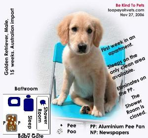 Golden Retriever, Male, toilet-training, Singapore apartment, Toa Payoh Vets