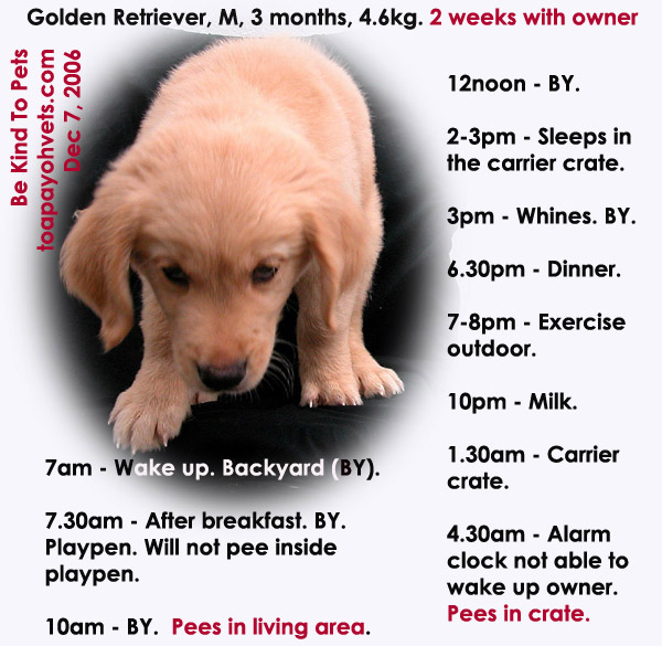 Golden Retriever 2 Months Weight 031208ASingapor...