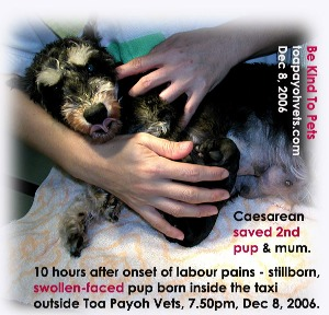 >10 hours labour pain. lst pup was actually stuck in the pelvic outlet. Stillborn in taxi. Toa Payoh Vets