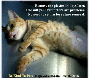Plaster prevents most cats from licking the wound. Remove in 14 days unless cat is irritated by it. Toa Payoh Vets