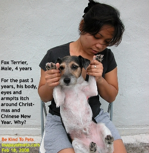 Fox Russell, often mistaken for Jack Russell, allergic itchiness every year end. Toa Payoh Vets