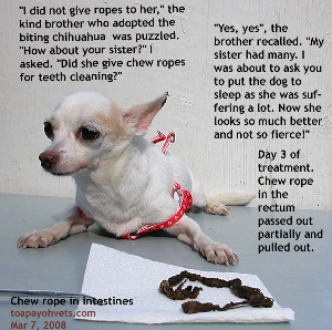 8 year old Chihuahua. Chew rope foreign body for probably 2 years in intestines. Toa Payoh Vets