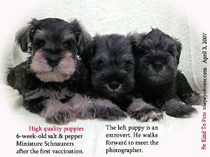 Healthy and high quality Miniature Schnauzer puppies. Toa Payoh Vets