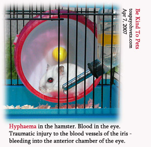 Iris bleeds - blood collects in anterior chamber of the eye - hyphaema. Toa Payoh Vets