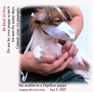 Ear scabies and another puppy biting this Papillon. Toa Payoh Vets
