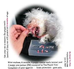 Remove puppy teeth - block growth of permanent and food get stuck. Toa Payoh Vets