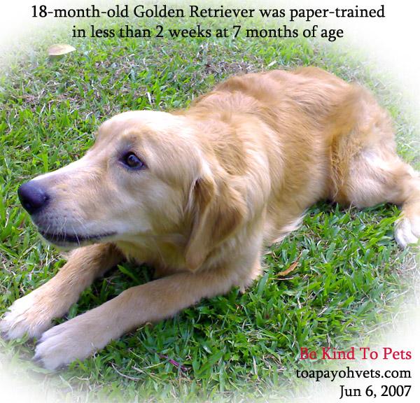 Buy golden retriever puppy singapore
