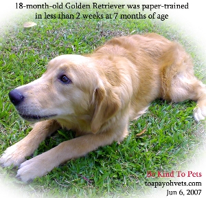 Training time needed, replace soiled newspapers immediately, praise and treats. Paper-trained apartment Golden Retriever. Toa Payoh Vets.