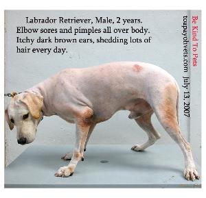 Generalised pustular dermatitis. Labrador Retriever. Garden Dog. Toa Payoh Vets.