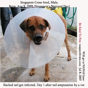 Singapore cross-bred tail hacked earlier. Infected. Now amputated. Toa Payoh Vets