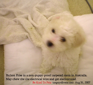 Carpets' soft feel attract puppies to eliminate on it. Toa Payoh Vets
