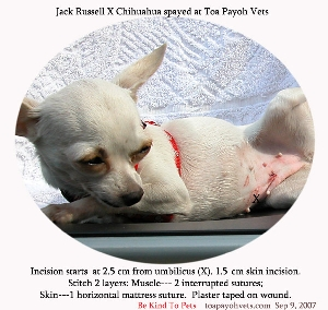 Spayed female dogs - much cheaper dog licensing fees in Singapore. Toa Payoh Vets