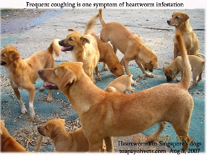 Canine heartworms in stray or outdoor dogs in Singapore. Toa Payoh Vets
