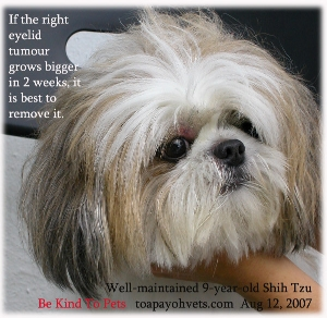 9-year-old Shih Tzu has an eyelid lump. Is it a skin tumour? Toa Payoh Vets.