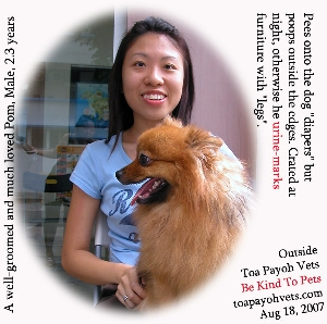 """Diaper-trained"" Pomeranian, much loved by family members. Toa Payoh Vets"