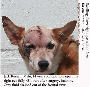 Swollen right temporal muscles, 14yearold_male_Jack Russell_ToaPayohVets