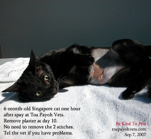 Spay cat. Toa Payoh Vets, Singapore, street cat.